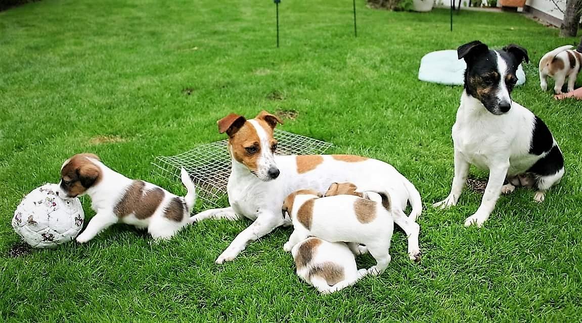 Rudel, Rudeltiere, Zusammenleben mit Hunden, Hundeerziehung